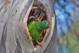 Female swift parrot in hollow