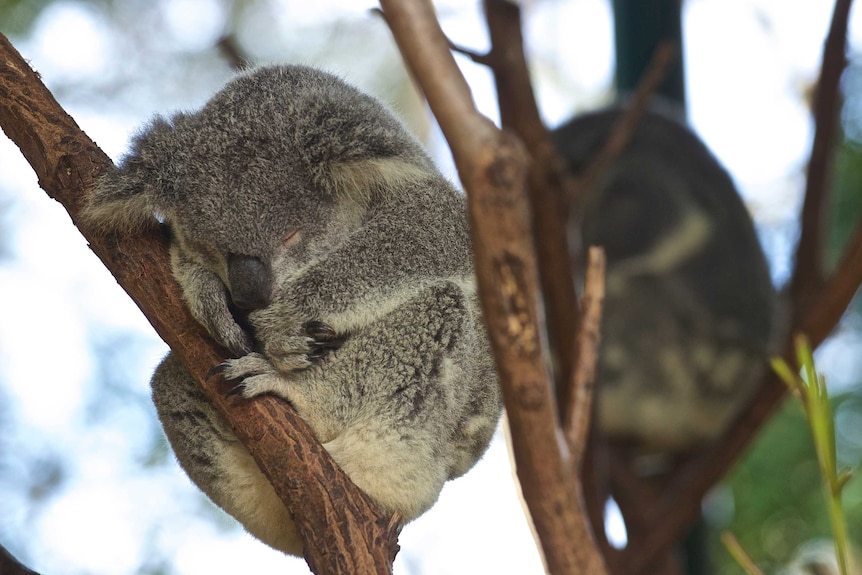 A grey koala is curled in a branch, asleep, peaceful, napping.