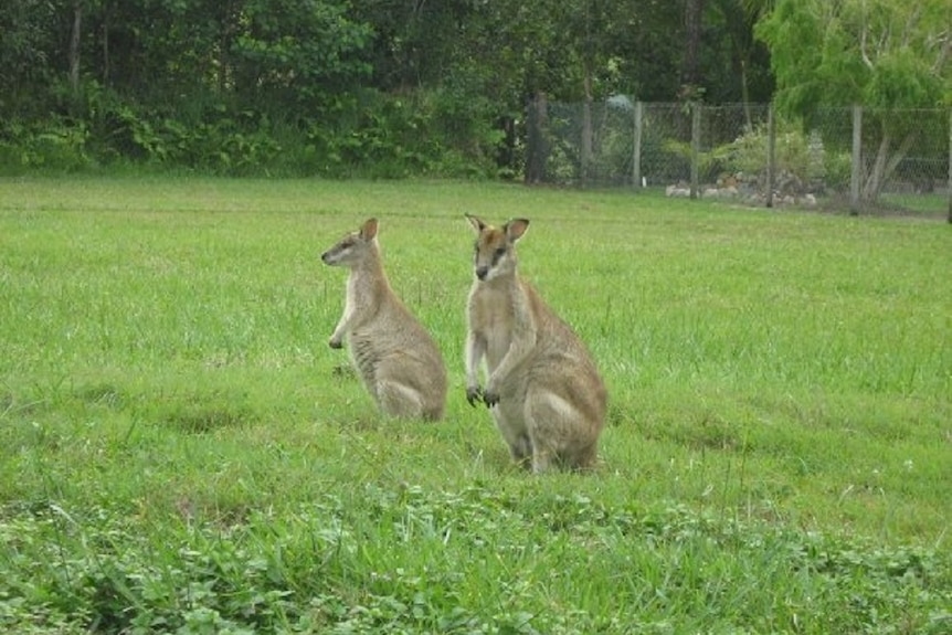 Two wallabies on grass paddock with suburban fence and garden in the background