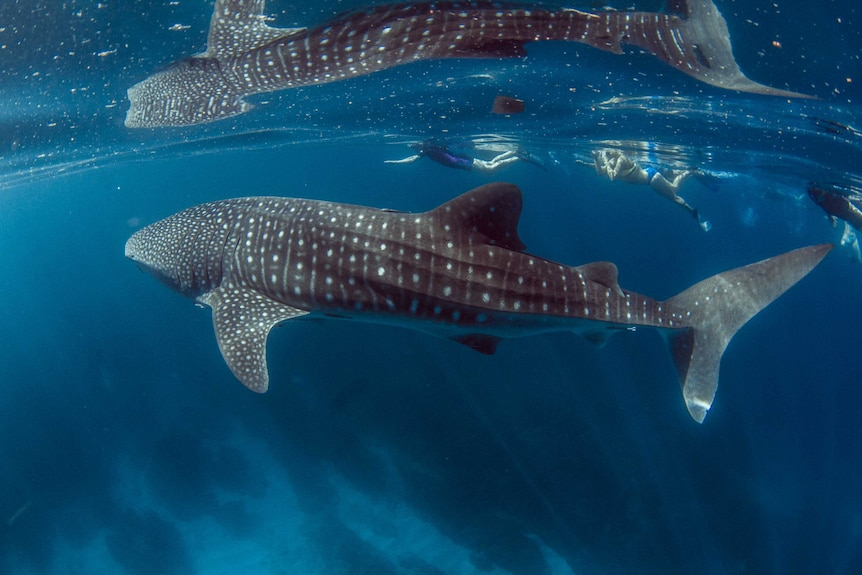 People swimming with whale sharks.