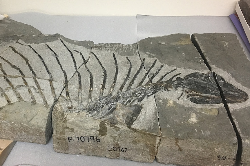 The fossilised bones of the body of a Gordodon dinosaur, showing a head on a long neck, with spikes coming off its back