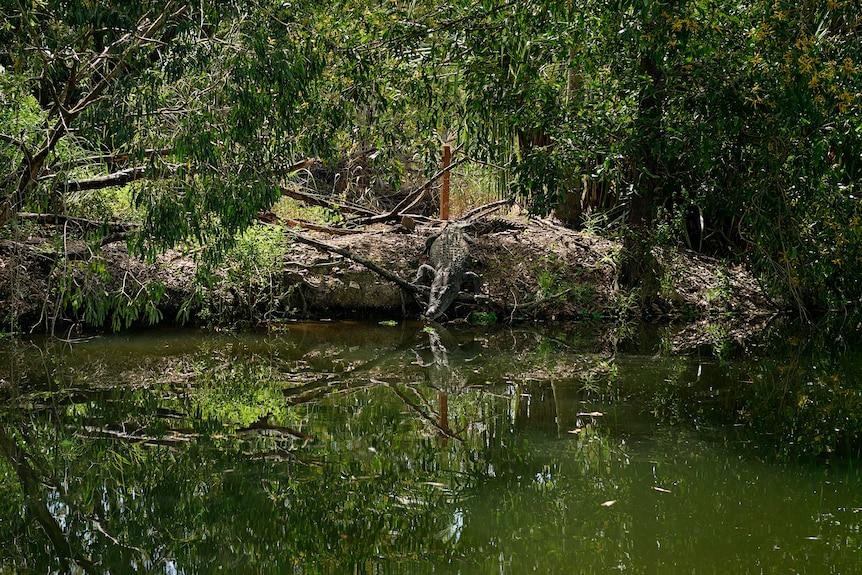 A crocodile slides down into water at Crocodylus Park.