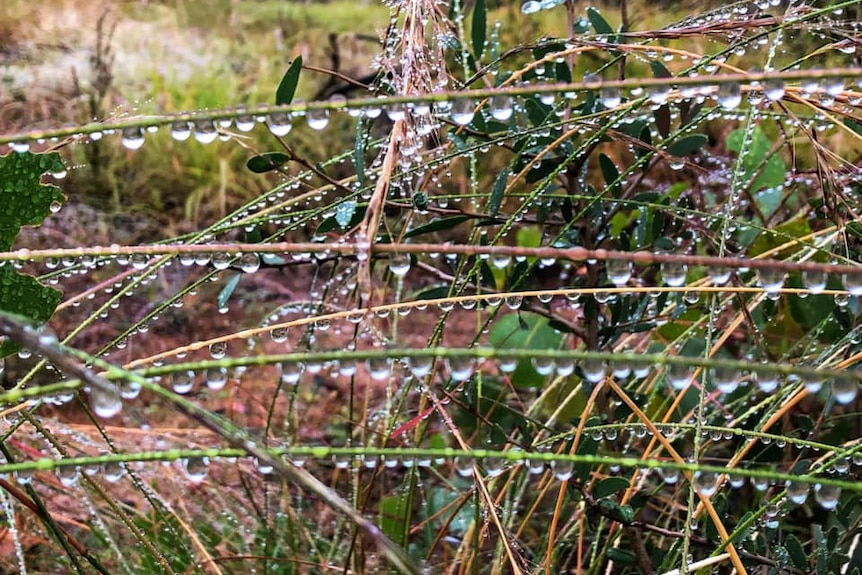 Close-up of raindrops glistening on grass on ground at Charleville in south-west Queensland.