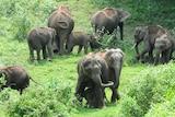 A herd of elephants graze in india