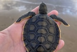 A baby flatback turtle sits in a hand, sand and ocean in background.