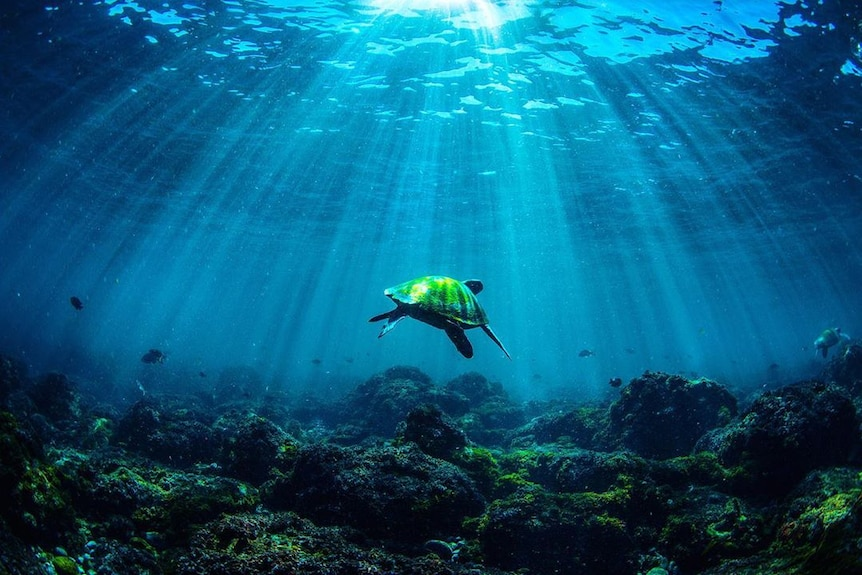 A green turtle swims above rocks with sunshine streaming through the ocean.