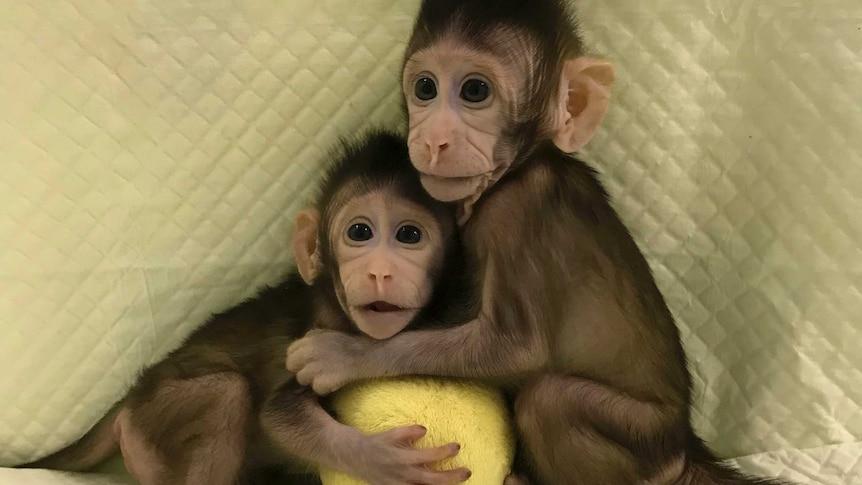 Cloned monkeys Zhong Zhong and Hua Hua are growing normally.