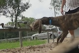Evidence of live baiting in greyhound racing industry