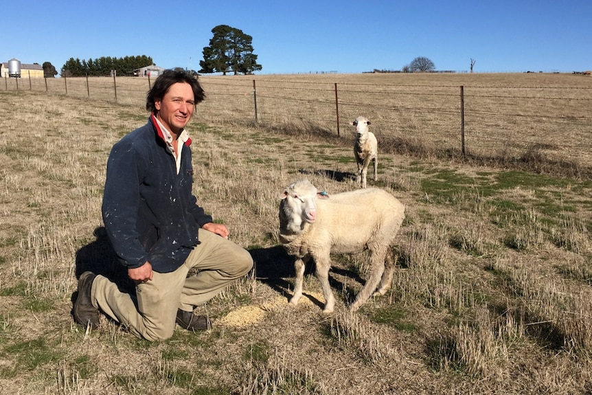 A man in the paddock, next to two lambs