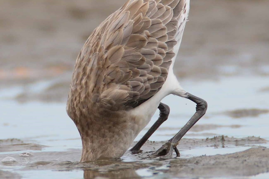 A bird with its head in the sand.