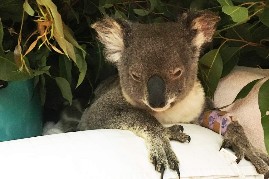 Aisling the injured koala in hospital with a cast on her arm.