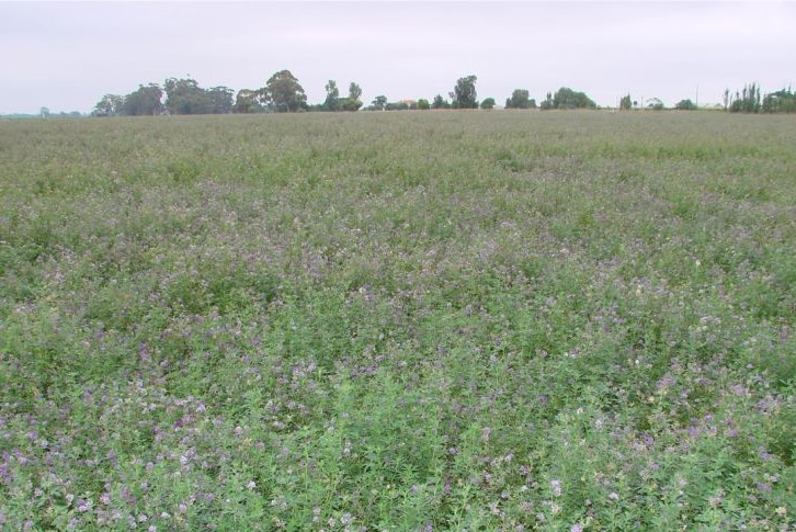 A field of green plants with purple flowers.