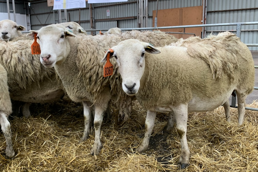 Two sheep in a pen