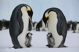 Two emperor penguins and their chicks on ice.
