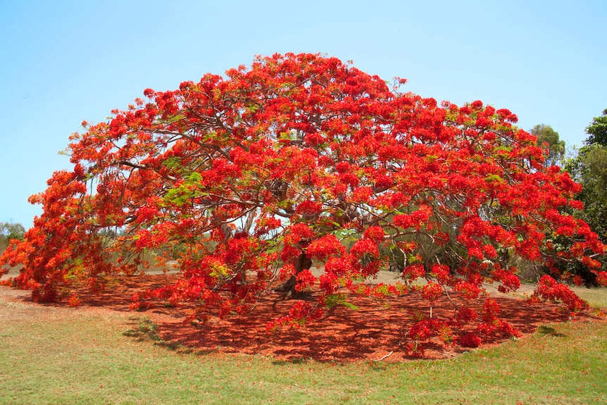 A poinciana tree covered in red flowers.
