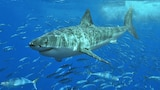 A shark with fish