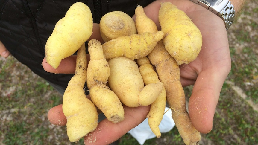 A man holding a handful of youlks — a native vegetable that looks similar to a kipfler potato.