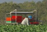 A worker picks fruit on a farm.