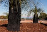 Two grass trees with wood chip mulch.