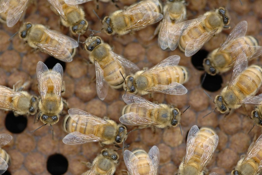 A close-up of bees on a hive