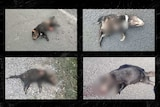 Four pictures of dead Tasmanian devils on a road.