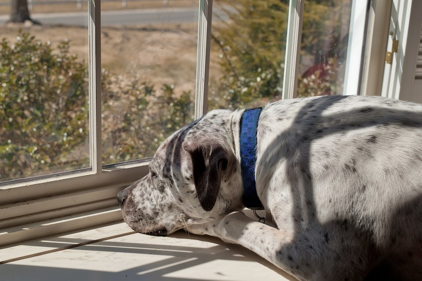 A pale dog with black spots lies on a windowsill looking out the window with head on paws