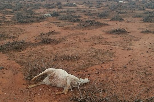 A dead goat lays on the red dirt after the deadly hail storm with carcases in the background.