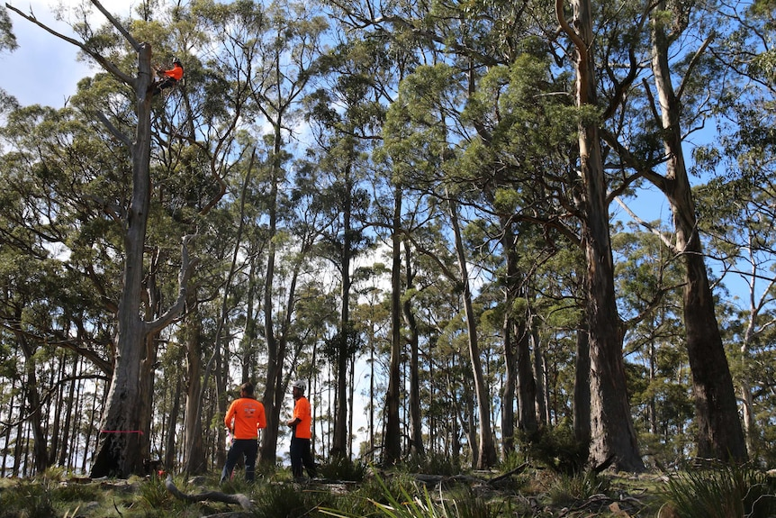 Creating hollows for swift parrots on Bruny Island