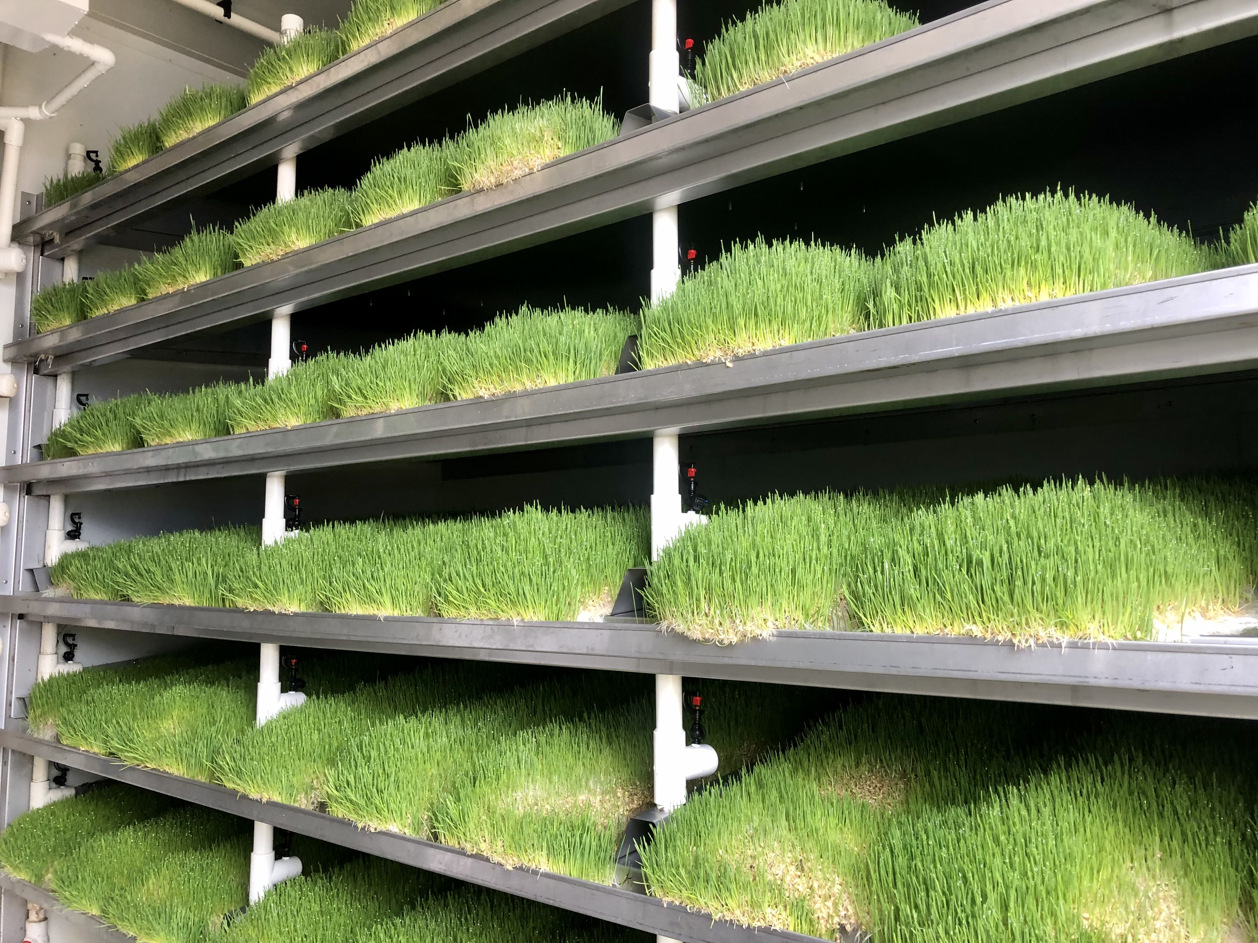 Trays of wheat grass on racks in a container.