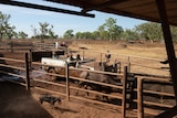 Two men in a muddy stripped-back jeep draft a buffalo through the narrow passage of a dusty stockyard.