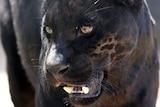 A jaguar growls.