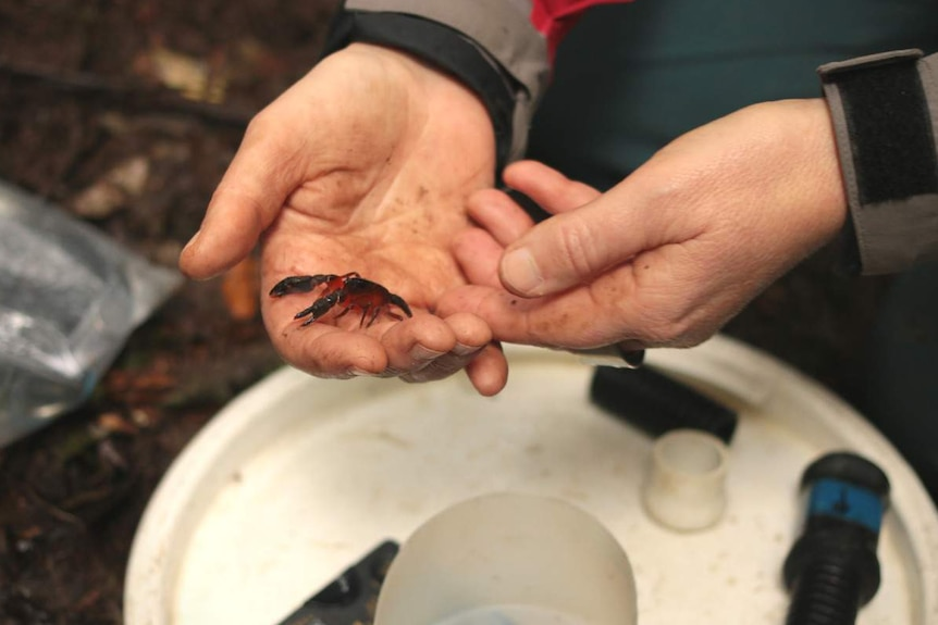 Di Crowther holding a Dandenong burrowing crayfish
