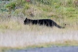 A picture of a black, cat-like animal walking through the bush.