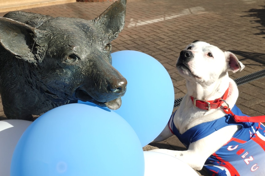 A dog wearing a netball uniform looks at a statue of a kelpie