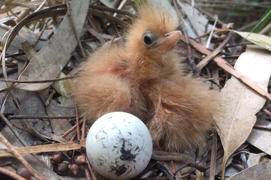 An Australian little bittern chick sits amongst leaf debris and an egg in the Yanga National Park.