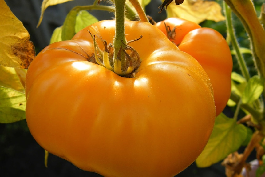 An image of a large orange tomato still hanging on the plant.