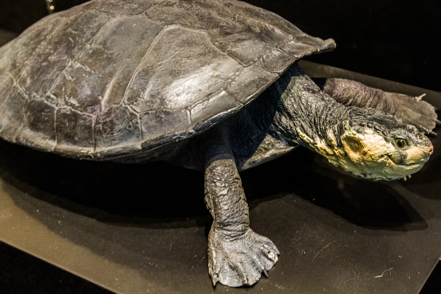 Large, white-throated turtle resting on a flat surface.