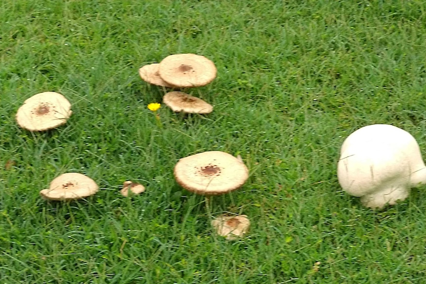 A cluster of eight flat beige mushrooms sprouting from lush green grass next to larger white dome shaped mushroom