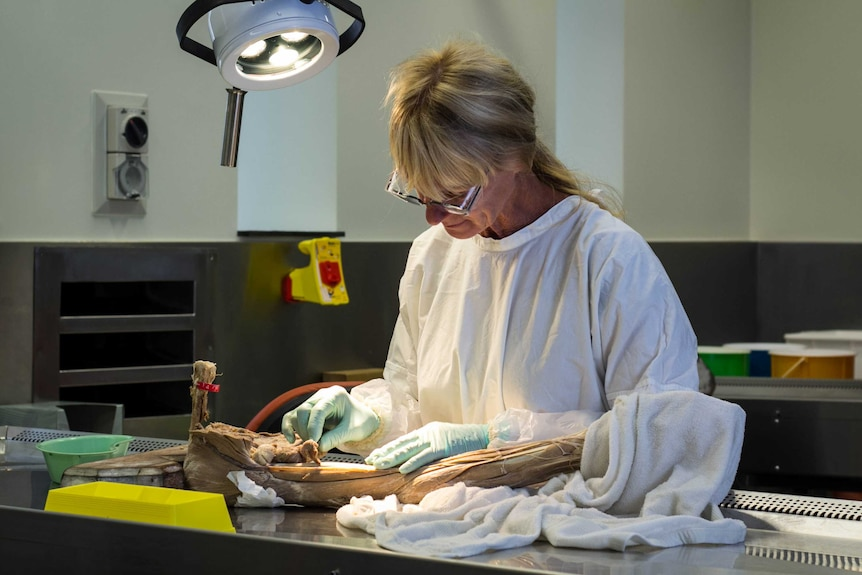 An anatomy laboratory worker dissects a human specimen.