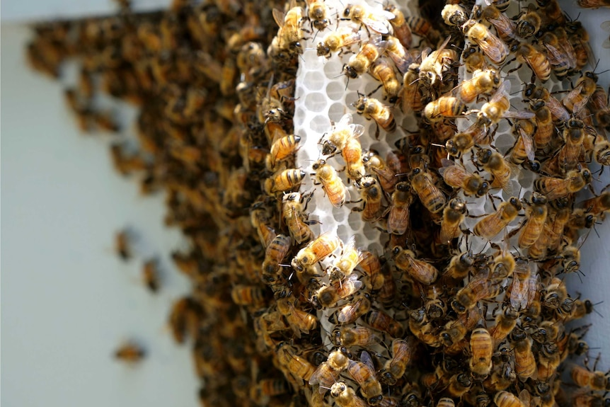 Close up of bees working on honeycomb in the light.