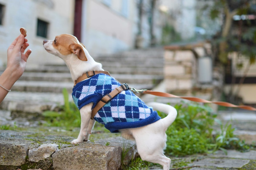 Little dog on a leash wearing a blue vest is handed a treat