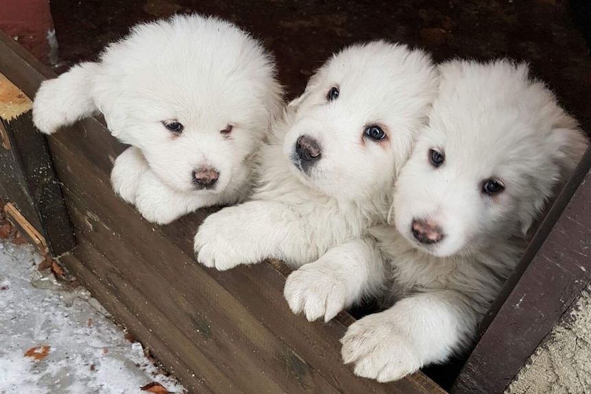 Three puppies who were trapped in the avalanche that struck an Italian mountain hotel.