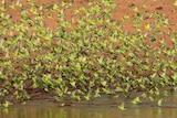 Green and yellow budgies swarming at a waterhole, with red earth in the background.