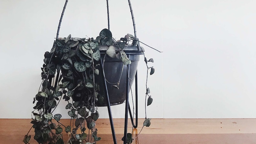 A hanging pot with chain of hearts plant with trailing stems reaching to the floor.
