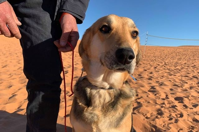 A dog sits on the sand. A man is holding a rope as lead.