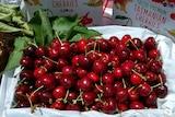 Freshly picked cherries at Reid Fruits Derwent Valley orchard