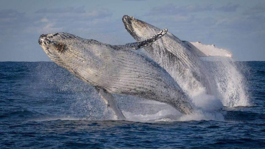 Double humpback breach.