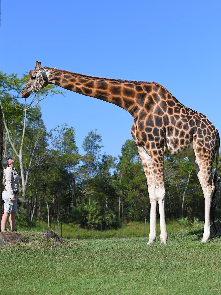 A tall giraffe outside, standing next to a human.
