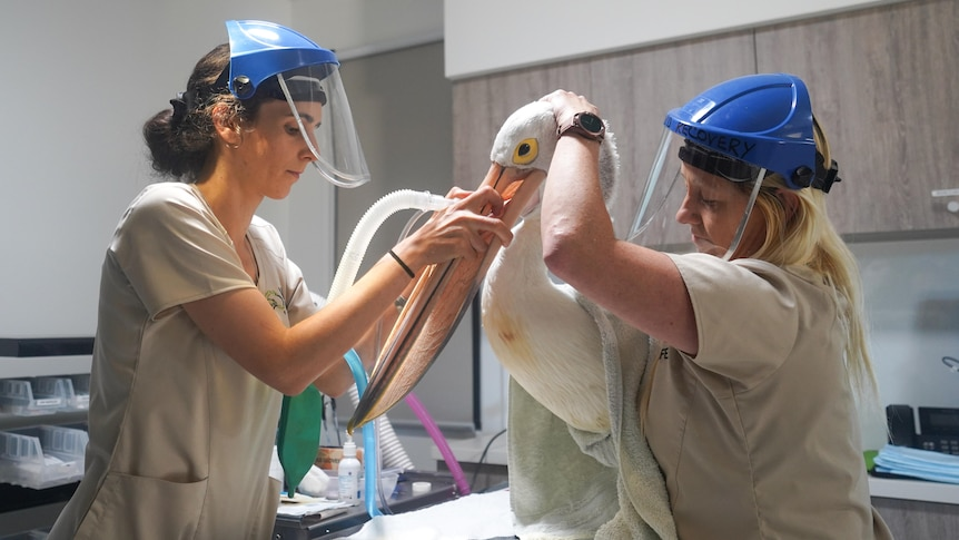 Bobtail cesareans and seabird surgery: A look inside Australia's first holistic wildlife ER
