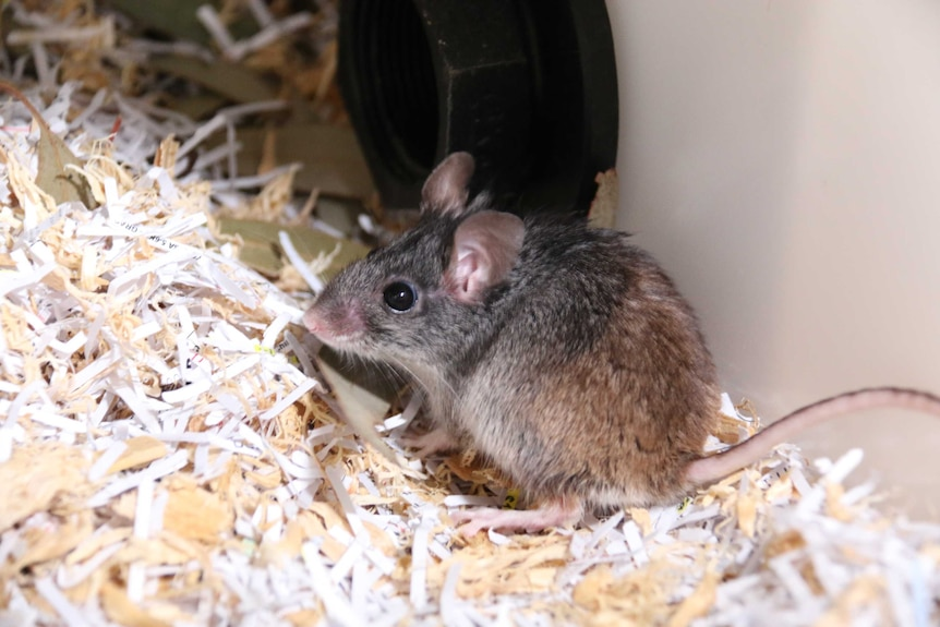 A mouse stands on top of a floor covering.